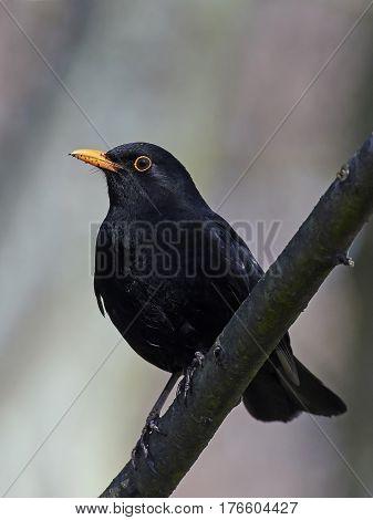 Common blackbird (Turdus merula) sitting on a branch in its habitat