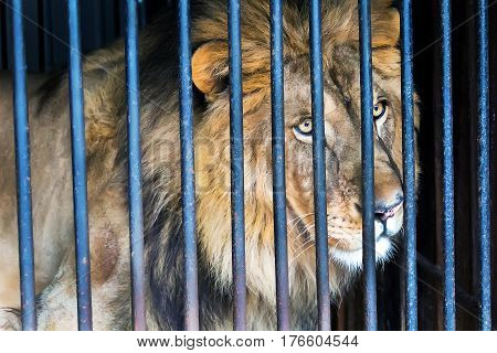 Lonely wild cat lion in a cage zoo
