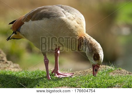 photo of an Egyptian goose grazing on green grass