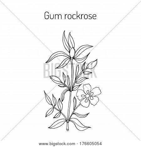 Gum rockrose, or laudanum, labdanum common gum cistus