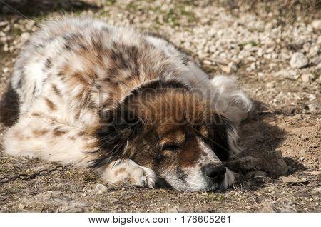 Mountain shepherd guardian dog resting in rural village garden