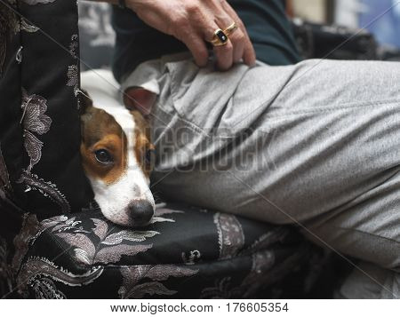 Snout of a dog in focus relaxing next to a master sitting on an armchair. Shallow depth of field cropped shot