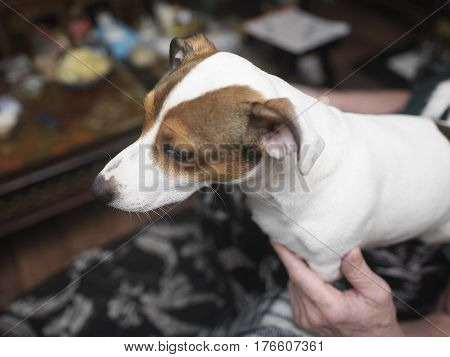 Dog sitting on the human knees particular focus on vibrissae shallow depth of field