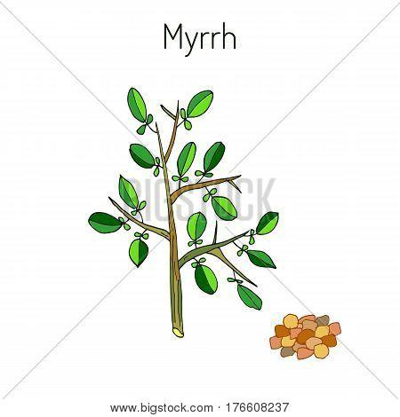 Myrrh, or African myrrh, or herabol myrrh, or Somali myrrhor, or Common myrrh - aromatic plant. Vector illustration