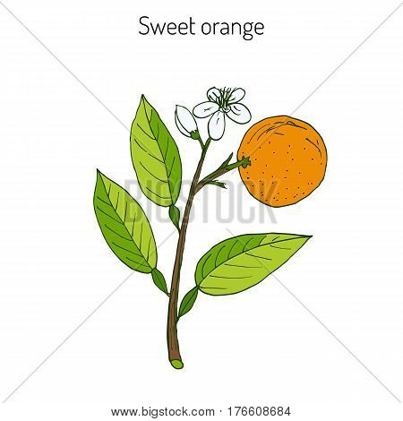 Orange, or sweet orange, twig with flowers. Vector illustration