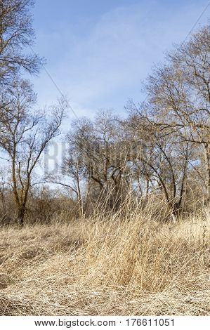 Yellow dry grass between leafless trees in autumn