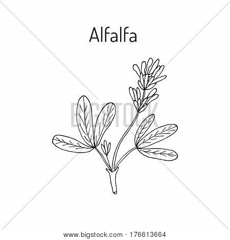 Alfalfa Medicago sativa . Hand drawn botanical vector illustration