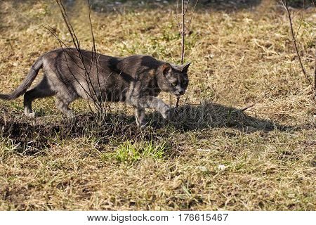 Cats in nature. Grey cat on the hunt. Animal sneaks into the branches and grass.