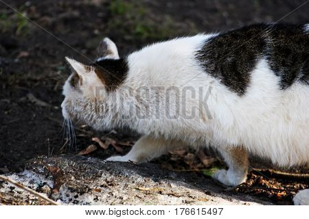 Cats in nature. White cat with black spots went on the hunt. Animal goes head bowed to the ground.