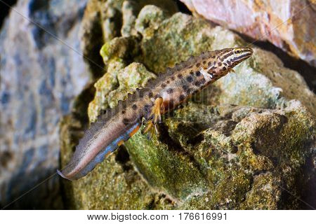 Common newt Triturus vulgaris in the pond