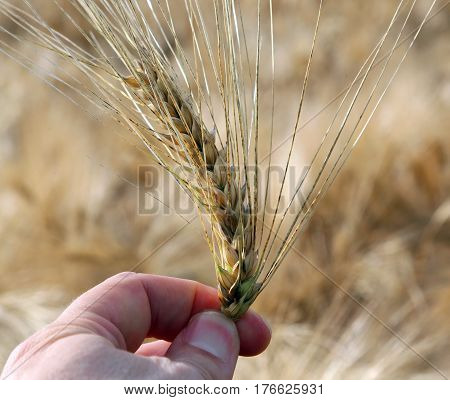 Hadn Of Farmer  That Controls The Ear Of Wheat To Ensure It Is R