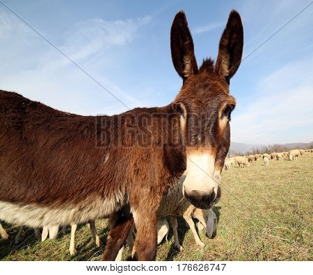 Young Donkey With Brown Fur Graze With The Flock Of Sheep On The