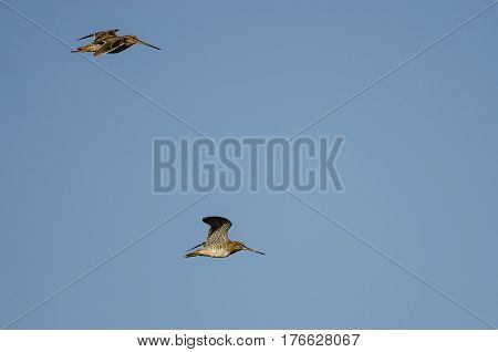 Pair of Wilson's Snipe Flying in a Blue Sky