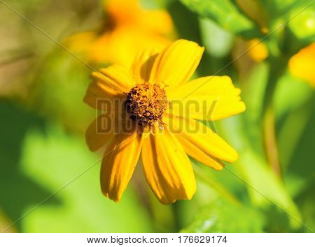 Yellow daisy flower in sunny flowerbed. Summer garden macro photo. Bright yellow daisy under sunlight. Natural floral decor for banner template or background. Sunny flower closeup. Spring meadow