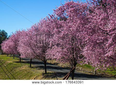 Cherry Blossom Trees In Full Bloom Along Private Lane