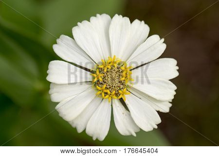 Summer meadow tropical flower with yellow stamen and white petals. Gerbera macro photo. Simple blooming daisy macro photo. Summer blossom in garden. Floral image for spring background banner template