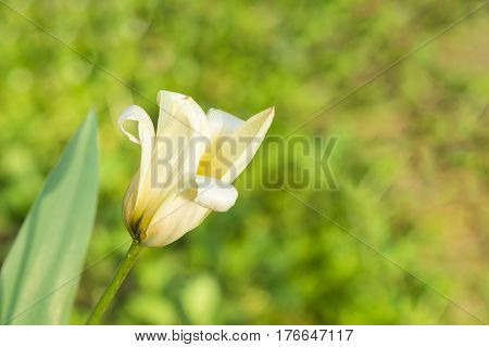 Graceful white Tulip Kaufman (lat. Tulip Kaufmanniana) on a green background. Early spring