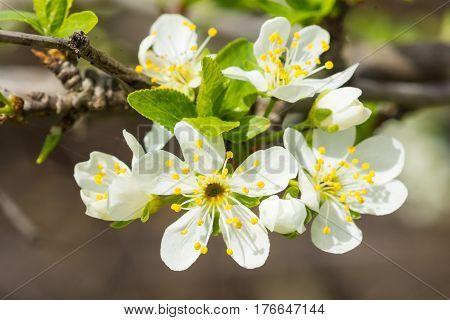 Flowering plum (lat. Prunus) plants of the Rose family (lat. Rosaceae). Early spring