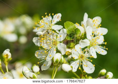 A branch of a blossoming plum (lat. Prunus) plants of the Rose family (lat. Rosaceae). Early spring