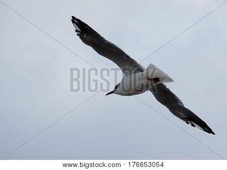 Seagull in flight. Gdynia, Poland - September 05, 2016 White seagull in flight over the port of Gdynia.