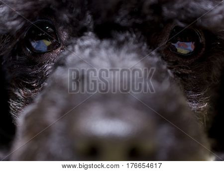 Cute black puppy looking straight to you