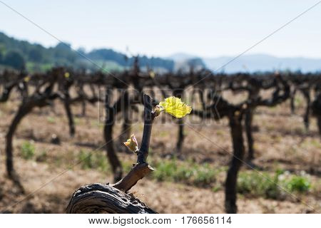 Early spring green shoot, new growth on mature grape vines, grape vine sprout