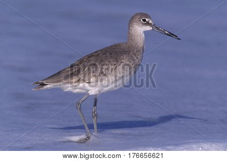 A Willet, Tringa semipalmata in winter plumage walking at the tideline