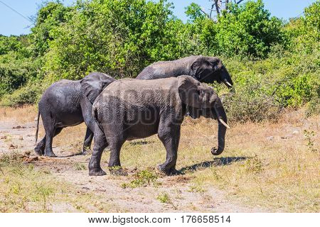 Okavango River shore. Herd of African elephants at the watering. The concept of exotic and active tourism. Botswana, Chobe National Park