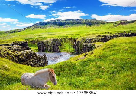 The striking canyon in Iceland. The Icelandic Tundra in July. White thoroughbred horse rested on a cliff. Bizarre shape of cliffs surround the stream with glacial water