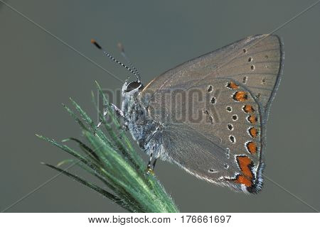 A Coral Hairstreak Butterfly, Satyrium titus on a green stem in New Jersey
