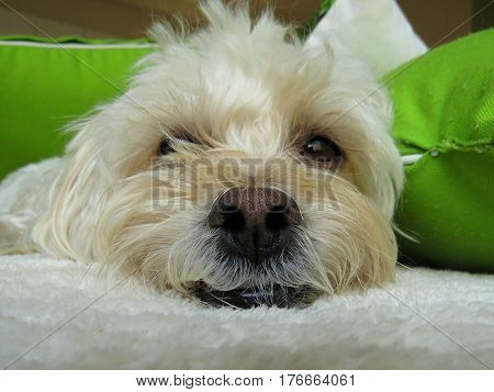 Poodle dog smile cute face and teeth white small canine animal