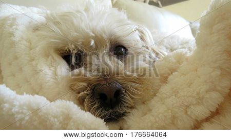 Snuggly Poodle dog cute face white small canine animal camouflage snuggle rug blanket
