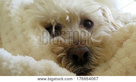 Close-up snuggly Poodle dog cute face white small canine animal camouflage snuggle rug blanket