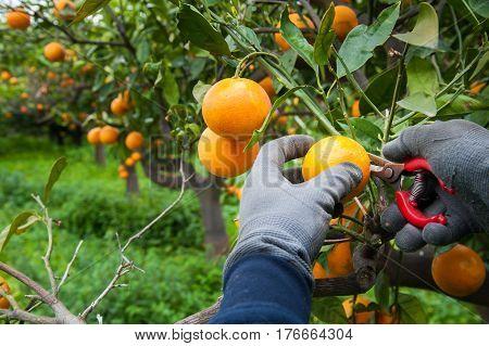 Orange harvest time: hands of a picker at work