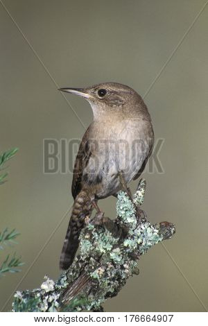 A House Wren, Troglodytes aedon sits on a branch in the springtime in New Jersey