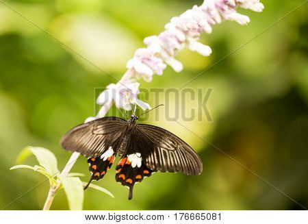 Pipevine Swallowtail (Battus philenor) Butterfly on a flower isolated on green