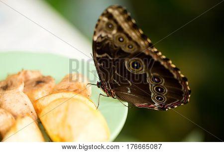 Ringlet butterfly feeding from apple. Butterfly House in Vienna - Austria