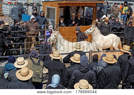 GORDONVILLE PENNSYLVANIA - March 11 2017: An Amish auctioneer and volunteers sell horses at the annual spring auction `Amish Mud Sale` which benefits the Fire Company.