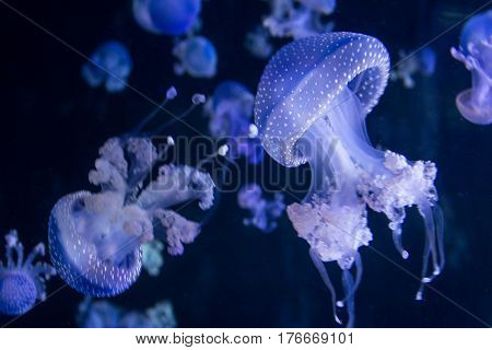 Jellyfish Under Water