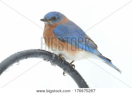 Male Eastern Bluebird (Sialia sialis) perched on a pole