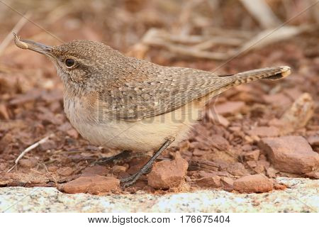 Rock Wren (Salpinctes obsoletus) on a brown background