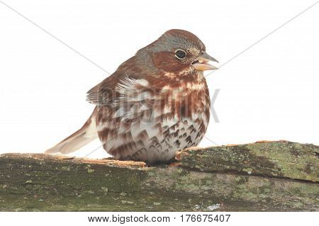 Fox Sparrow( Passerella iliaca) on a log white