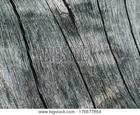Cracked wood background in cold color gamma. Weathered salted tree surface macro photo. Beach tree texture with cracks. Natural wood lines ornament. Obsolete grey timber from sea. Wooden cut closeup