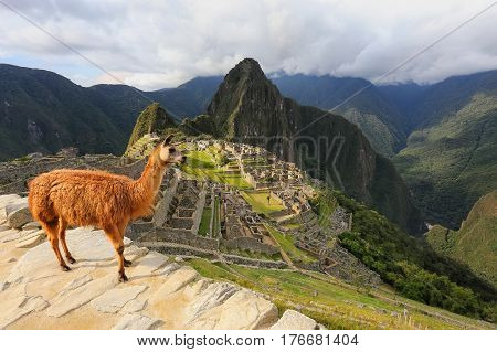 Llama Standing At Machu Picchu Overlook In Peru