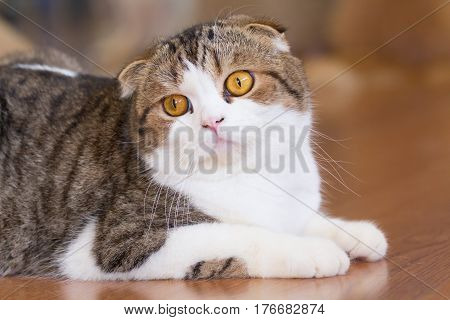 british shorthair cat on the wood floor