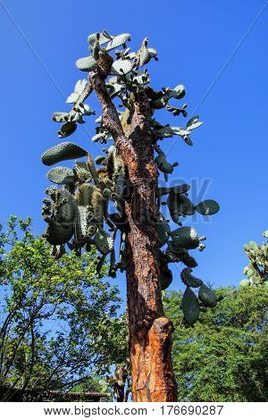 Giant cactus tree (Opuntia echios sp.) on Santa Cruz Island in Galapagos National Park Ecuador. It is endemic to the Galapagos Islands and is commonly known as the Galapagos prickly pear