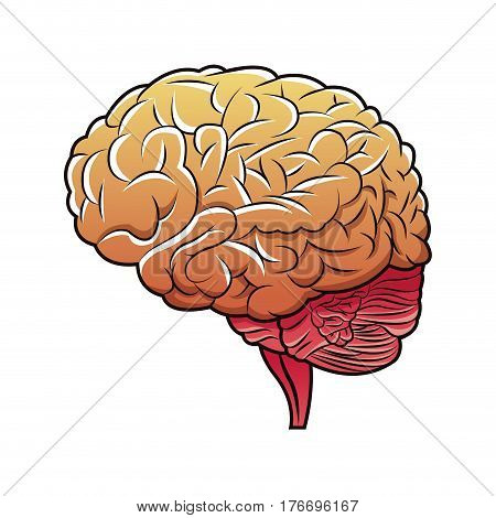 human brain structure image vector illustration eps 10