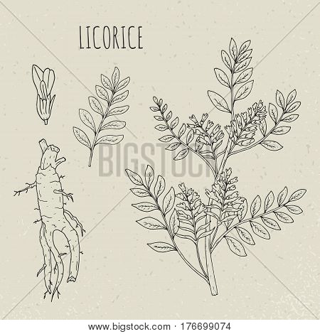Licorice botanical isolated illustration, Plant, leaves, root, flowers hand drawn set. Vintage outline sketch