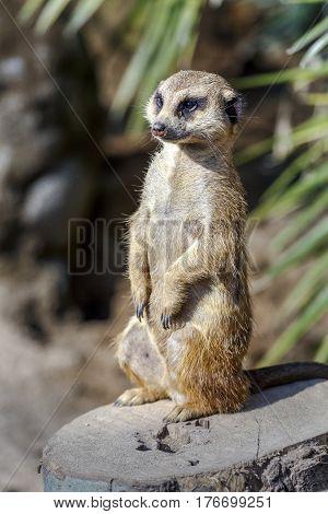 suricatta in guard Meerkat position monitoring. mammal