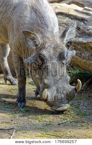 Warthog or Common Warthog Phacochoerus africanus is a wild member of the pig family
